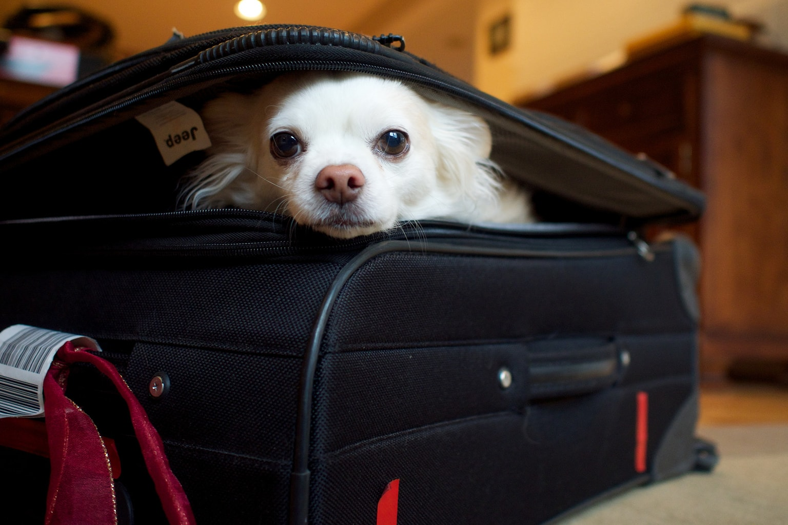 dog in suitcase packing