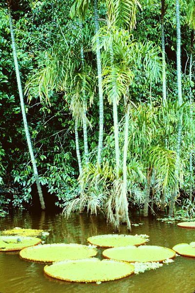 A picture of the Amazon rain forest