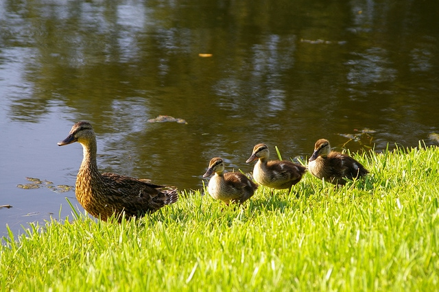 A row of ducklings following their mother
