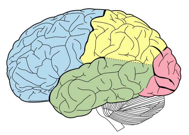 A diagram of the lobes of the brain