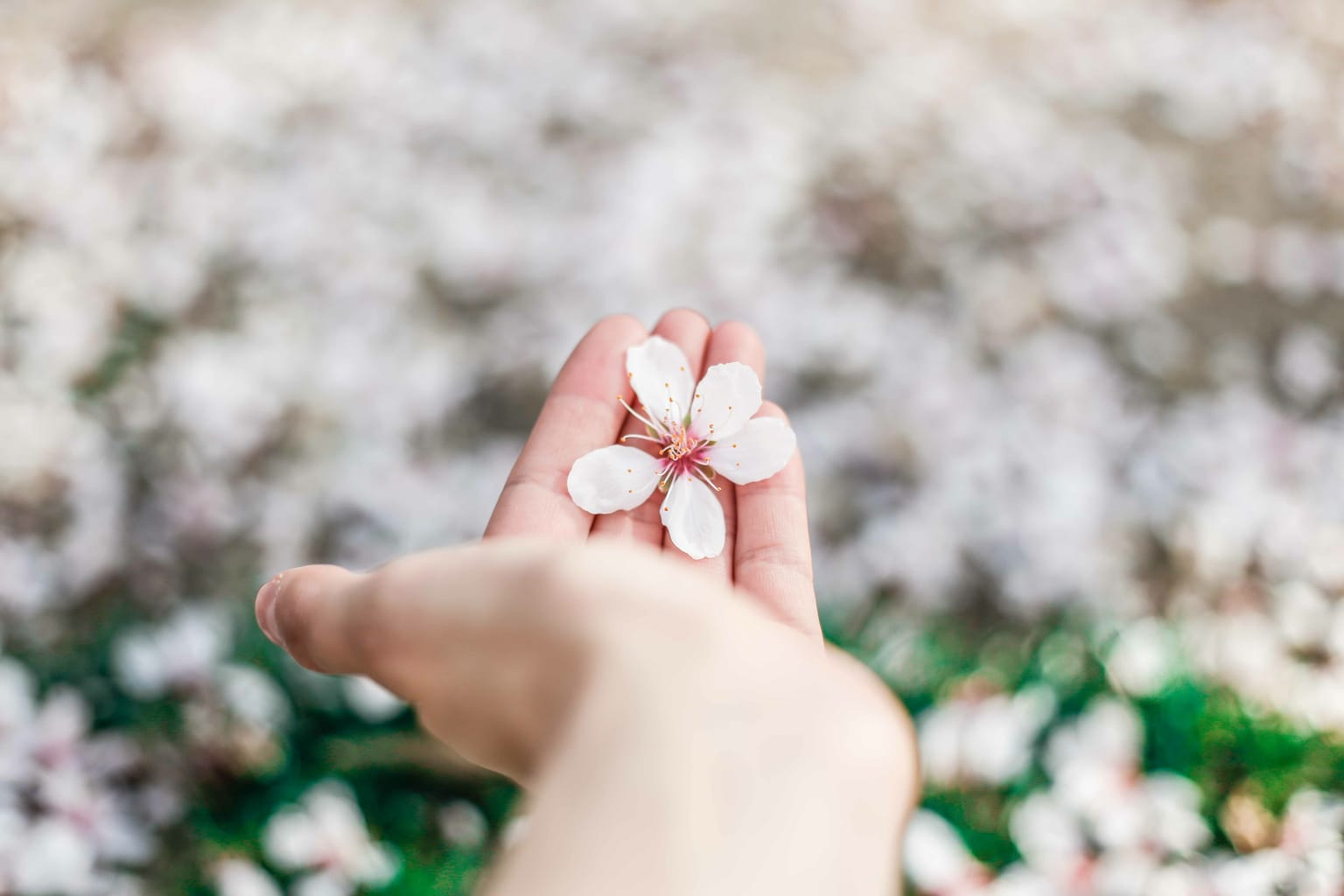 Cherry blossom in hand