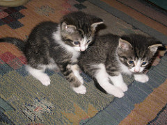 Cute gray and white kittens playing on a carpet