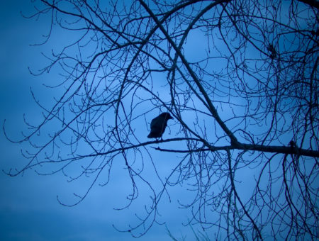 Raven in a tree