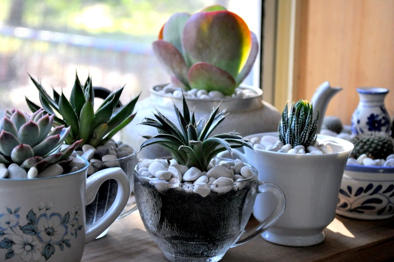 Photo of succulents in teacups.