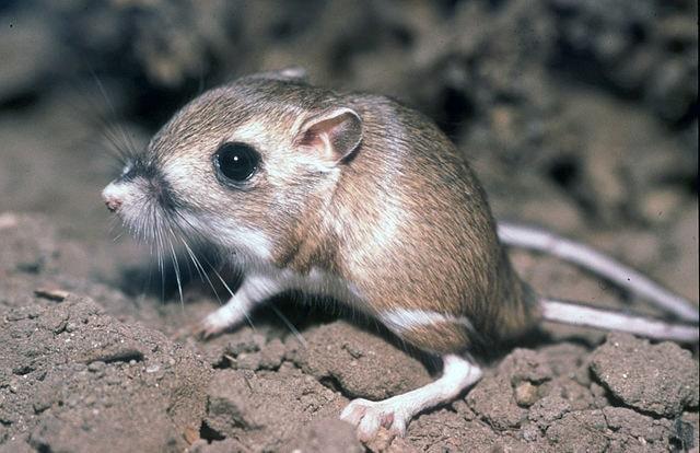 A Kangaroo Rat