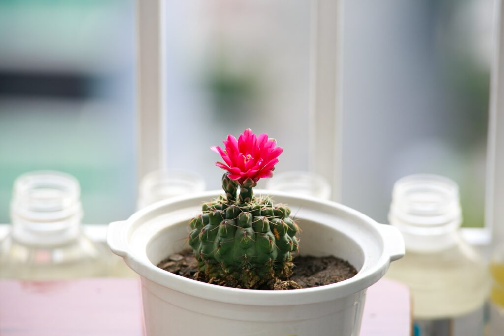 tiny cactus with pink flower