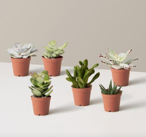 Succulent plants in terracotta pots